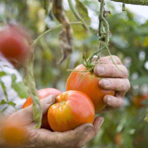 Pomodoro-CuorediBue-Biologico