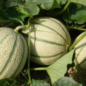 Melone BIO