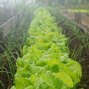 insalata di campo biologica km0 firenze