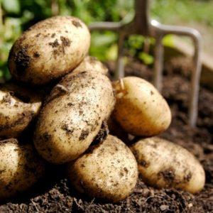 patate biologiche km0 firenze