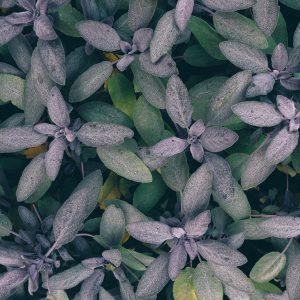 salvia-piante-aromatiche-bio-firenze-km0
