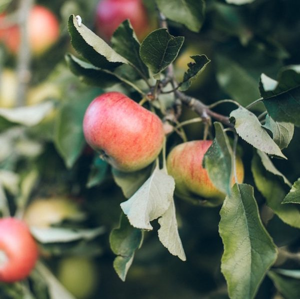 mele-selvatiche-biologiche-toscana