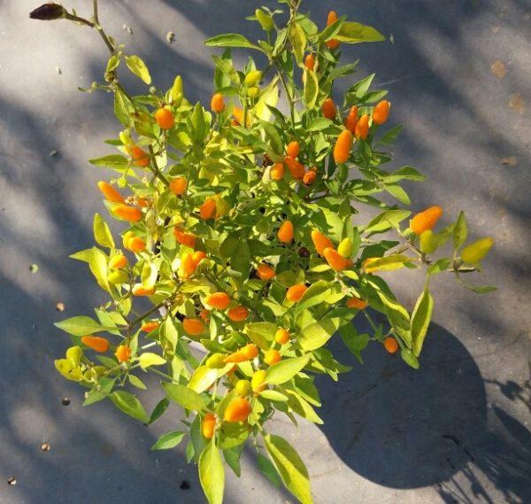 caraibico-giallo-bio-firenze-km0