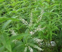 cedrina-bio-piante-aromatiche-firenze-km0