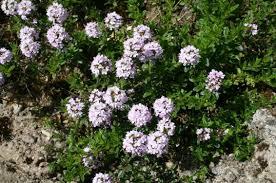 santoreggia-bio-piante-aromatiche-firenze-km0