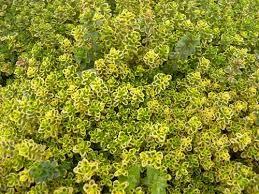 timo-limone-firenze-km0