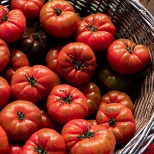pomodoro-costoluto-fiorentino-biologico