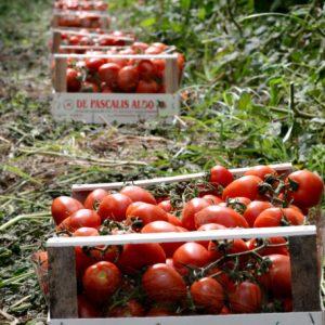 pomodori-biologici-cassetta-conserva