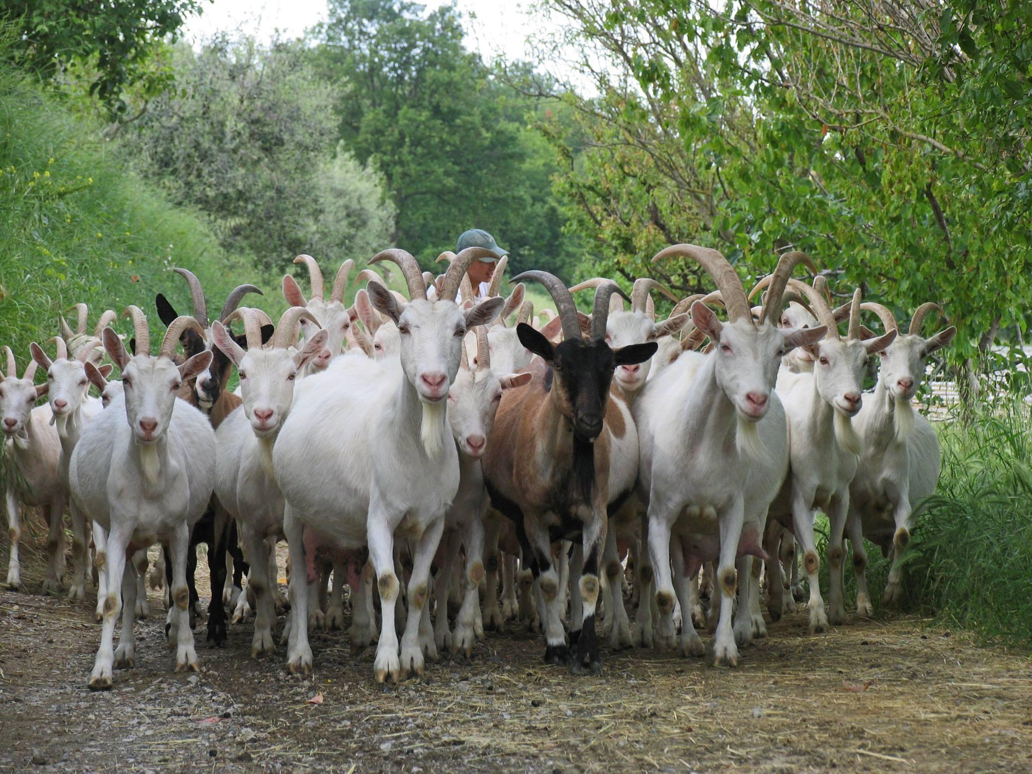 poggio-camporbiano-capre-gruppo