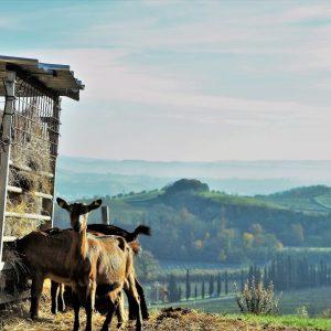 fattoria-le-caprine-caprini-toscana